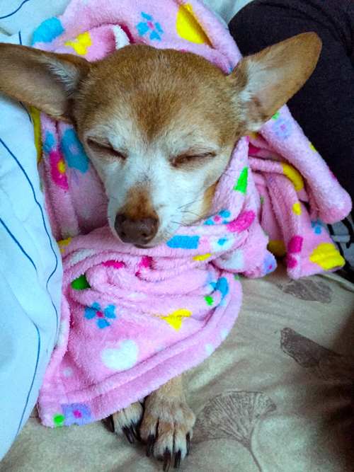 Rocky doesn't care that his blanket is pink. He's just warming up after the walk outside.